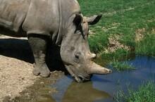 White Rhinoceros, Ceratotheriu...