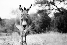 Mini Donkey In The Field In Black And White