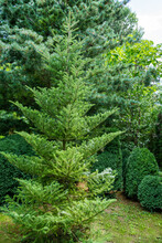 Fir Abies Koreana In Landscape...
