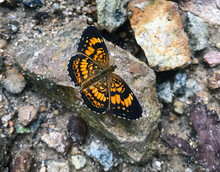Macro Orange And Black Silvery Checkerspot Chlosyne Nycteis On Rocks