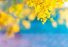 Blossoming Of Australian Wattl...