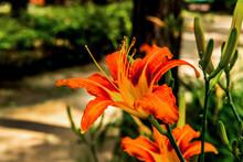 Beautiful Color Lilium Longiflorum Flower In Spring Season At Botanical Garden, Close Up.