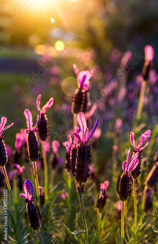 Fotografie, Obraz Blooming lavender in a field at sunset.