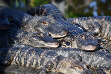 Large Pile Of Alligators Warmi...