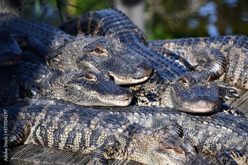 Large pile of alligators warming up Slika na platnu