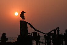 Silhouette Of A Bird Crow Sitting On A Pole Or Ruins Of Old Bridge In The Sun Set On Alappuzha Beach Or Sea Side Kerala India.