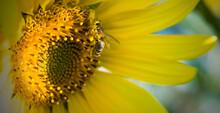 Letnie Słoneczniki I Pszczoła