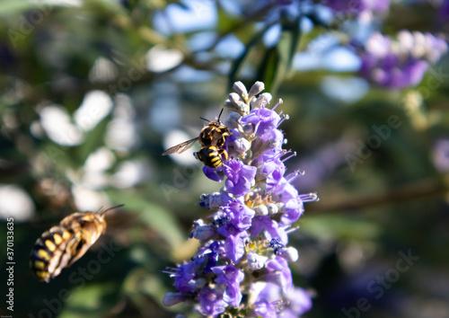 des abeilles volent et butinent une fleur violette Canvas Print
