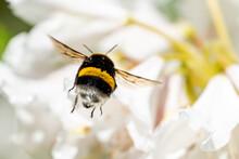 A Cute Bumblebee Approaching A Flower
