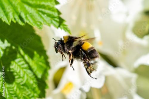 A cute bumblebee approaching a flower Fototapete
