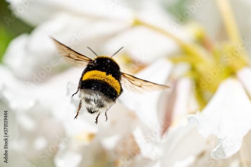 Fotografiet A cute bumblebee approaching a flower