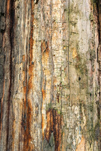 Tree Trunk Without Bark With Traces Of Wood Beetles. Natural Old Wooden Texture With Traces Of Pests. Close-up View Of Tree Trunk Without Bark.  Wooden Texture With Traces And Tracks Of Bark Beetles