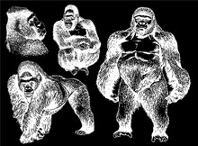 Graphical Set Of Monkeys And Gorillas Isolated On Black Background, Vector Illustration , Elements For Printing And Tattoo