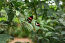 Papillon En Plein Vol. Flying Butterfly