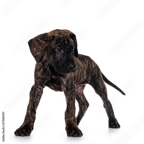 Fotografie, Obraz Cute dark brindle Great Dane dog puppy, standing playfull facing front