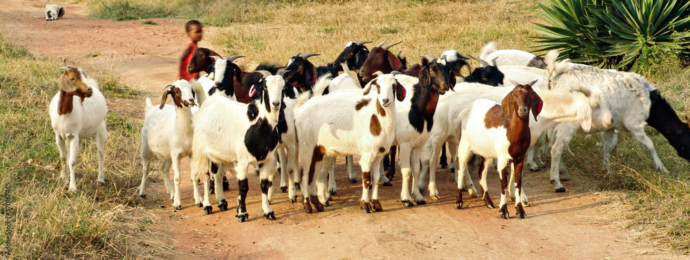 Fototapeta kid with goats