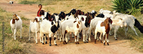 Obraz na płótnie kid with goats