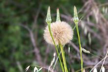 Arge Puff Seed Head - Western Salsify (Tragopogon Dubius) On A Meadow