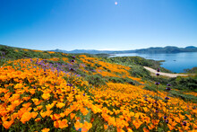 Field Of Golden Poppies In Diamond Valley Lake, California Near Hemet During A Superbloom