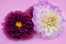 Pink And White Chrysanthemum Flowers In Dreamy Pink Backdrop