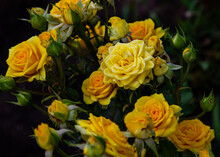 Yellow Bush Roses With Open Buds. Yellow Roses Close-up In Bloom In The Park, Garden.