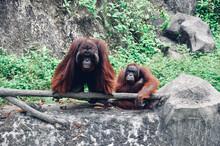 A Family Of Orangutans Resting...
