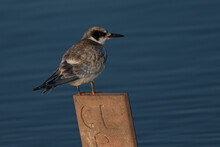 Least Tern In Beautiful Light, Seen In The Wild In North California