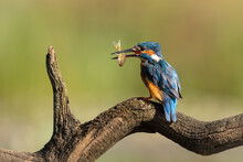 Kingfisher Perched On A Branch...