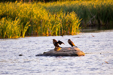 Profile View Of Two Great Black Cormorants And A Mallard Hen Standing On Rock In A Marsh During A Golden Hour Sunny Morning, Neuville, Quebec, Canada