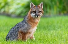 Portrait Of Fox Sitting. Wildlife Looking Straight At Camera