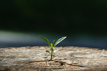 New life growth future concept ,a strong seedling growing in the old center dead tree ,Concept of support building a future focus on new life with seedling growing sprout