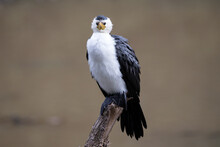 Little Pied Cormorant Resting On Perch In River