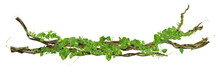 Circular Vine At The Roots. Bush Grape Or Three-leaved Wild Vine Cayratia (Cayratia Trifolia) Liana Ivy Plant Bush, Nature Frame Jungle Border, Isolated On White Background With Clipping Path Included