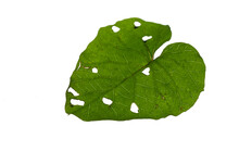 The Leaves Are Holes And Traces. From Eating Insects. On A White Backdrop