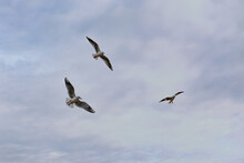 Three Seagulls Flying Cloudy Blue Background Freedom