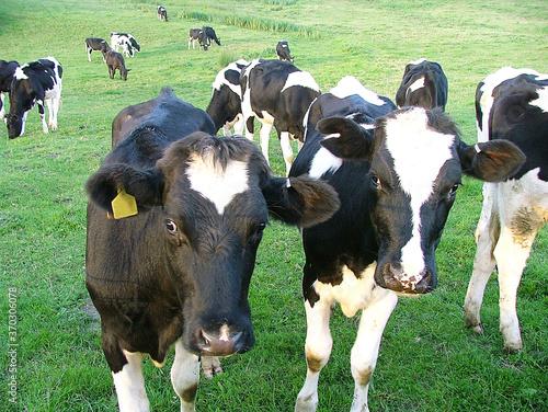 Obraz na plátně Welsh Cattle Herd