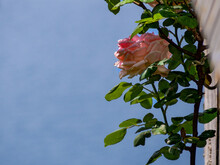 Pink Rose On The Railing Of A ...