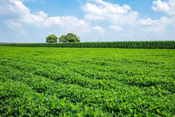 Peanut Field, Peanut plantation fields.