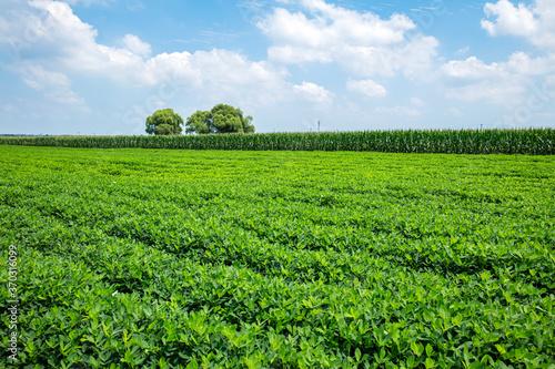 Tablou Canvas Peanut Field, Peanut plantation fields.