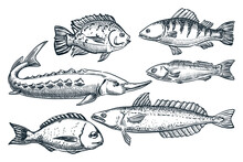 Sea Fishes Set, Isolated On Wh...