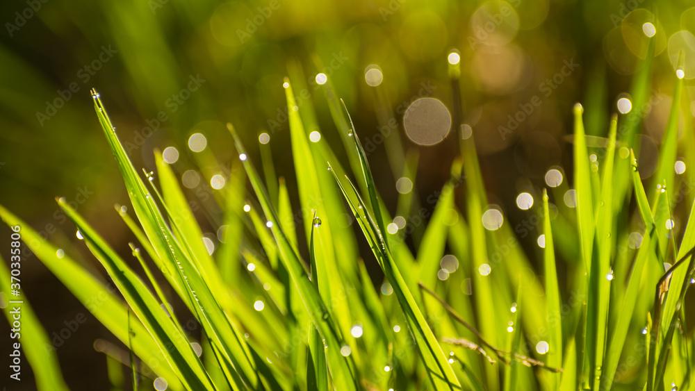 Fototapeta oświetlona trawa z kroplami wody