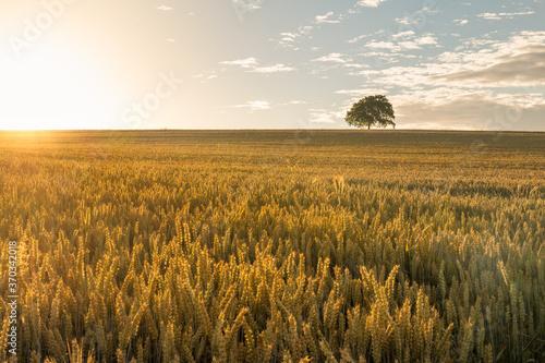 Kornfeld im Sonnenaufgang Canvas-taulu