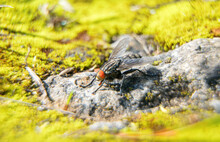 Macro Shot Of Flesh Fly On The...