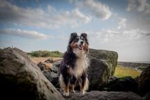 Shetland Sheepdog On The Rocks...