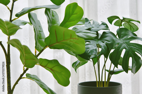 Obraz na plátne Artificial plant, Closed up of Fiddle leaf fig tree and monstera planted in black pot, Indoor tropical houseplant for home and living room interior
