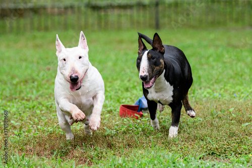 Papel de parede Two mini bull terriers running and playing outside