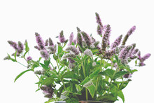 Catmint Or Catnip Flowers Bouq...