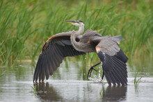 Great Blue Heron Landing In Ma...