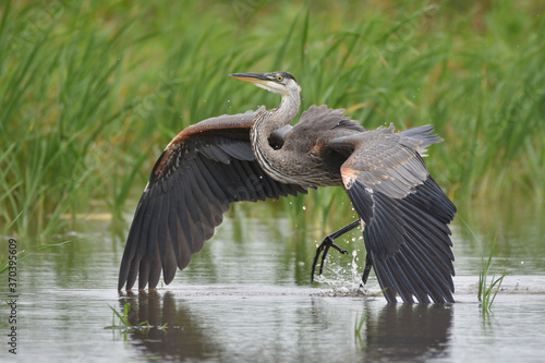 Carta da parati Great Blue Heron landing in marsh