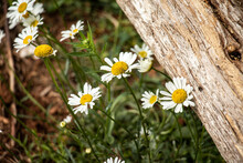 Daisies By A Fence Post